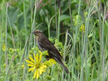 female meadowlark
